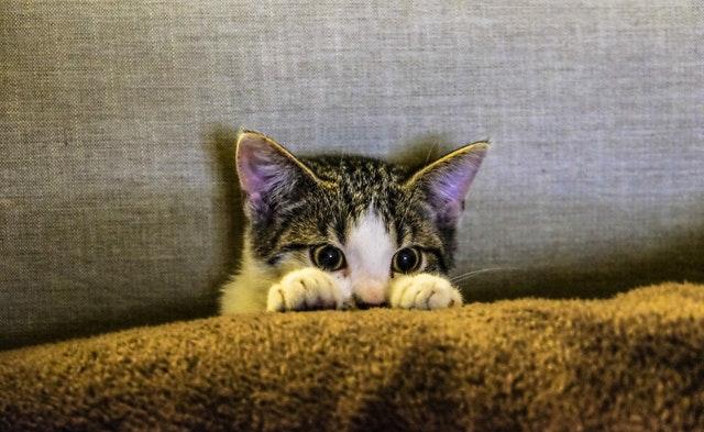 ソファーから顔を半分出している猫